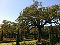 Live Oak at Cummer Museum of Art & Gardens.jpg