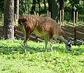 Llama in Sweden.jpg