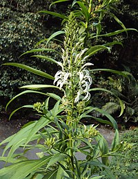 Lobelia nicotianifolia 01.jpg