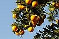 Local Orange Variety of Kozan - Kozan Yerli Portakal 06.jpg