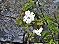 Località Fonte al Romito-fiori 1.jpg