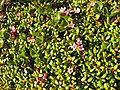Loiseleuria procumbens and Salix herbaceae Upernavik 2007-07-06.jpg