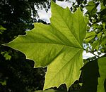 London Plane leaf July.jpg