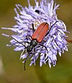 Longhorn Beetle (Stictoleptura hybrida) (35564755781).jpg