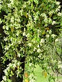 Loropetalum chinense2.jpg