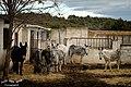 Los protagonistas de la Asociación Burrera de La Manchuela («Canaleja 17») - panoramio.jpg