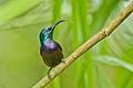 Loten's Sunbird (m) @ Nilambur.jpg