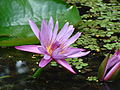 Lotus Flower at GSS 2.jpg