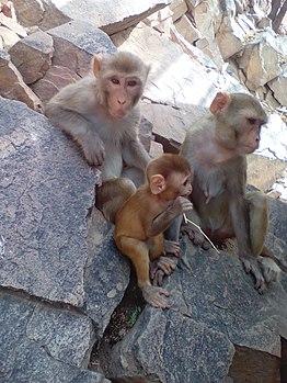 Loving family of macaque monkeys.jpg