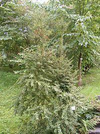 Lumbar plant ilex pernyi