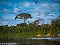 Lupuna tree, Tambopata River, Peru..jpg