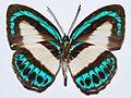 Lycaenid Butterfly (Danis perpheres) female underside (8419122405).jpg