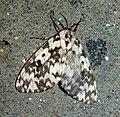 Lymantria sp. Female( see note).Noctuidae.Lymantriinae,Lymantriini - Flickr - gailhampshire.jpg