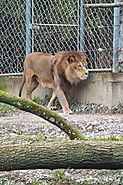 Lyon lion Parc de la Tête d'Or