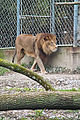 Lyon lion Parc de la Tête d'Or.jpg