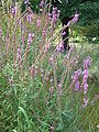 Lythrum salicaria RB1.JPG