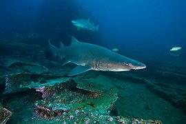 MNMS - Sand Tiger Shark (28250724206).jpg