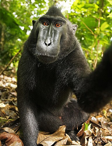 Autofoto de una hembra de macaco negro crestado