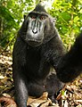Macaca nigra self-portrait full body.jpg