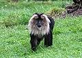 Macaca silenus - Serengeti-Park Hodenhagen 2017 01.jpg