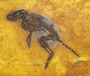 Macrocranion - M. tupaiodon fossil