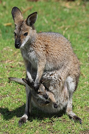 A red-necked wallaby, Macropus rufogriseus, with a joey in its pouch at Symbio Wildlife Park in Helensburgh, New South Wales, Australia.