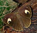 Malabar Glad-eye Bushbrown-Mycalesis junonia.jpg