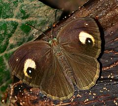 Malabar Glad-eye Bushbrown-Mycalesis junonia.jpg