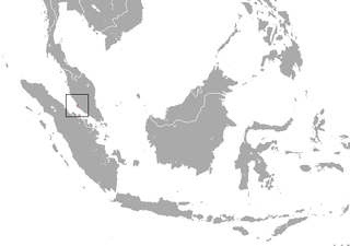 Malayan roundleaf bat species of mammal