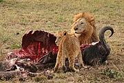 Lev a mládě pojídající buvola afrického