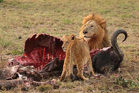 أسدٌ ذكر وشبله يقتاتان على جيفة جاموس إفريقي في متنزه كروغر الوطني، بِجنوب أفريقيا