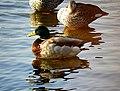 Mallard Male with female in Lakhota Lake DSCN1436 1.jpg