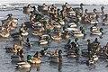 Mallard ducks near the confluence of Alum Creek and Yellowstone River (16ae43b1-dd00-4300-ae49-adf6acfb57d0).jpg