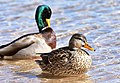Mallard on Seedskadee National Wildlife Refuge (40398242382).jpg
