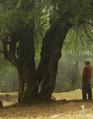 Malus-crescimannoi-tree.png