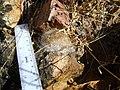 Mammillaria guelzowiana (5729900226).jpg