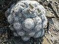 Mammillaria parkinsonii (5780598880).jpg