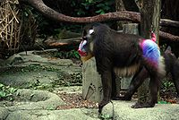 Mandrill at Singapore Zoo.jpg