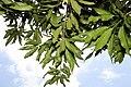 Mangifera indica 22zz.jpg