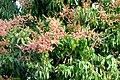 Mango (Mangifera indica) (14691405723).jpg