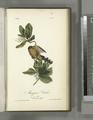 Mangrove Cuckoo. Male. (Seven years apple.) (NYPL b13559627-108538).tiff