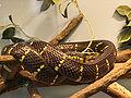 Mangrove Snake.jpg