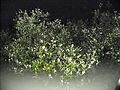 Mangrove at night (23916496690).jpg