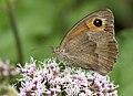 Maniola jurtina - Meadow brown, Giresun 2018-08-20 3.jpg