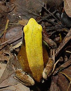 Mantella viridis MtFrancais 070101 (resize).JPG