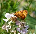 Marbled Fritillary. Brenthis daphne. - Flickr - gailhampshire (2).jpg