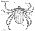 Margaropus-female-dorsal.png