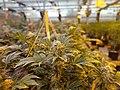 Marijuana greenhouse tour.jpg