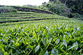 Mariko Tea Plantation 135309311 org.jpg
