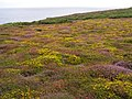Maritime heath at Gwennap Head - geograph.org.uk - 229828.jpg